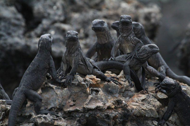 Leguanen Galapagos