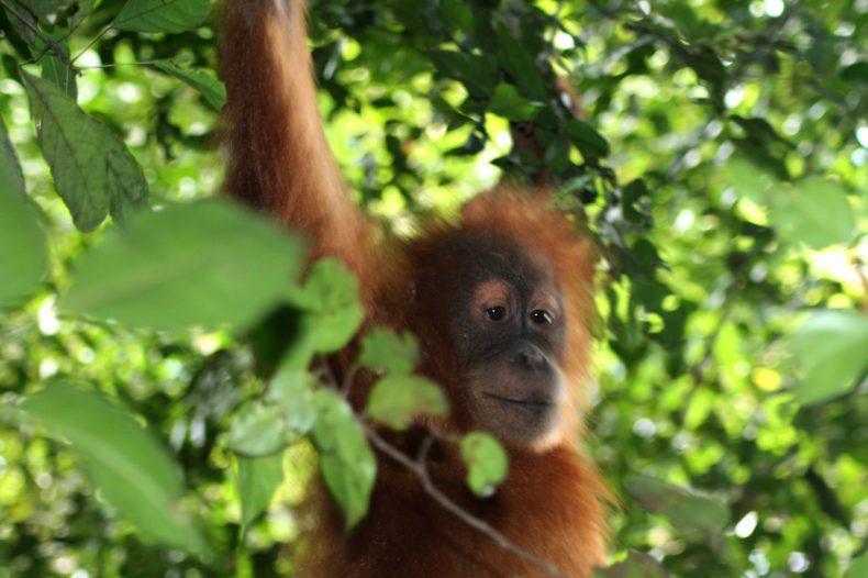 indonesie-sumatra-bukit-lawang-orang-oetan-aap