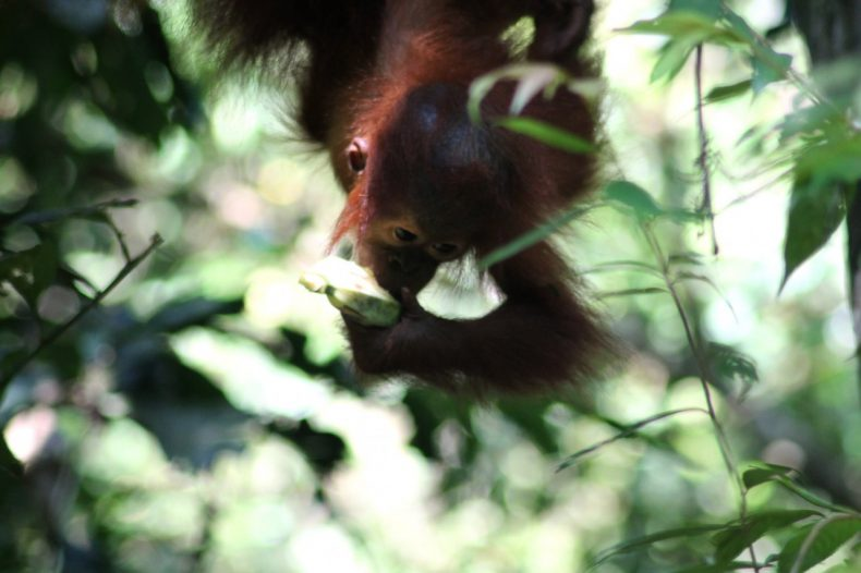 indonesie-sumatra-bukit-lawang-orang-oetan-baby