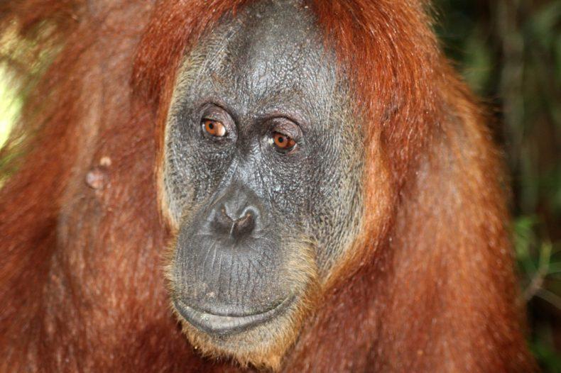 indonesie-sumatra-bukit-lawang-orang-oetan-hoofd