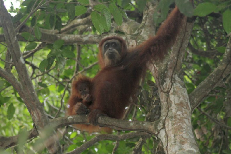 indonesie-sumatra-bukit-lawang-orang-oetan-moeder-baby