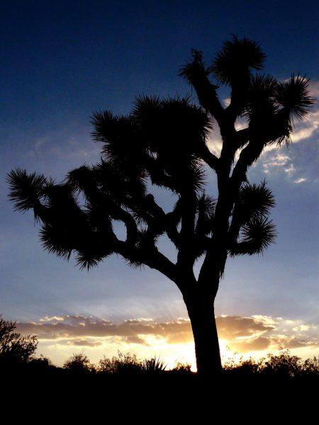 joshua-tree-california