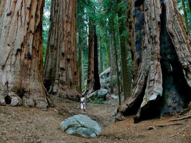 sequoia-bomen