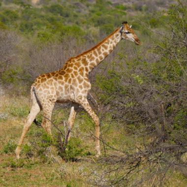 Op safari in Pilanesberg National Park, Zuid-Afrika