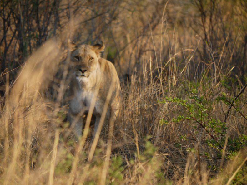 leeuw pilanesberg zuid-afrika
