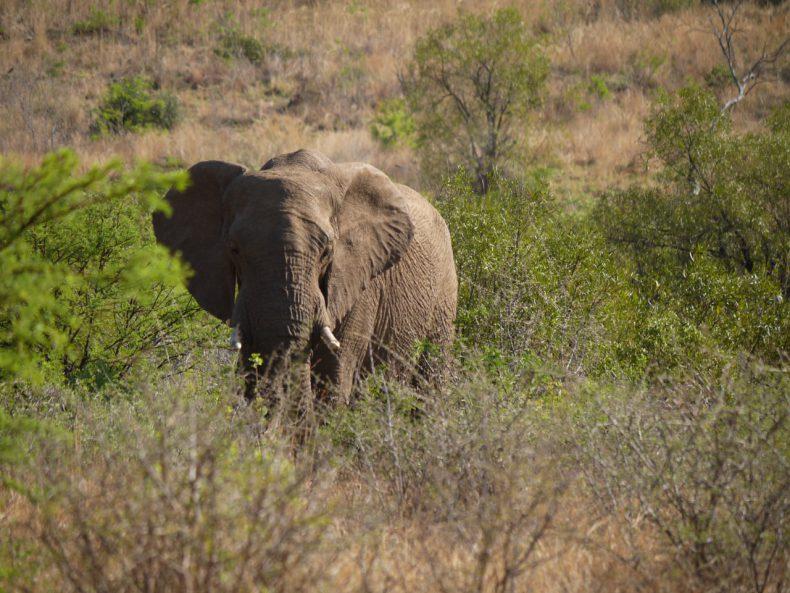 olifant safari zuid-afrika