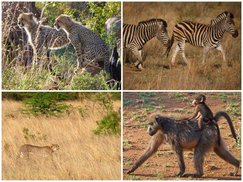 safari-pilanesberg