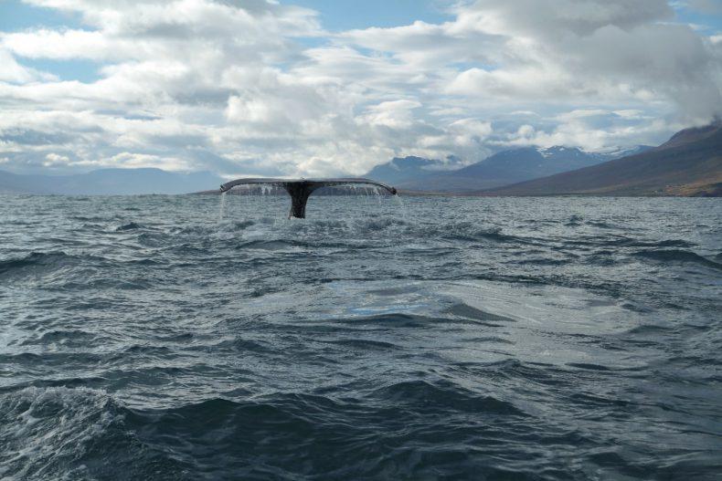 ijsland-husivak-walvissen