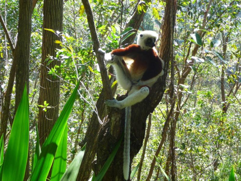 Madagaskar-Andasibe-national-park-lemur