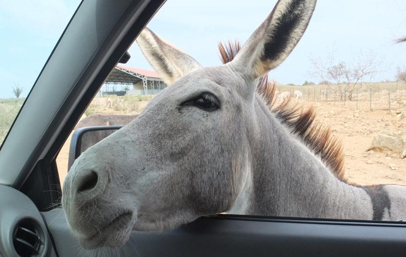 Bonaire_Donkey_Sanctuary