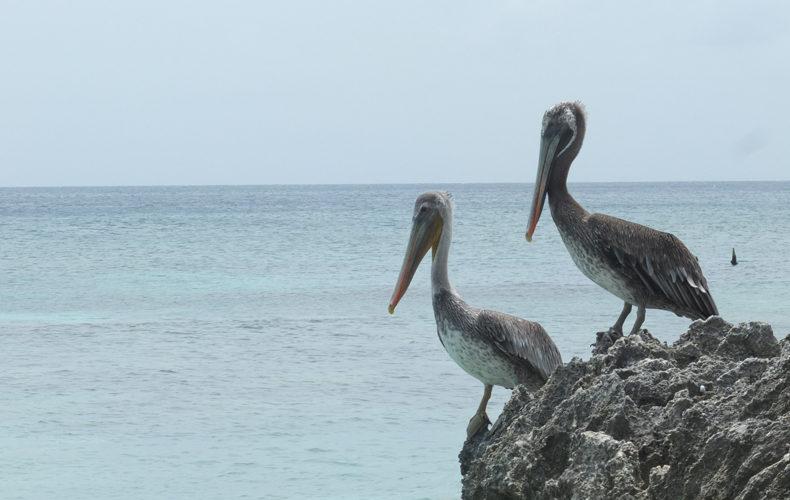 Bonaire_Pelikanen