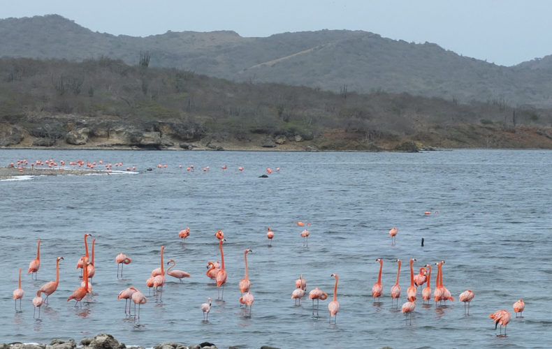 Bonaire_Washington_Slagbaai_Flamingo