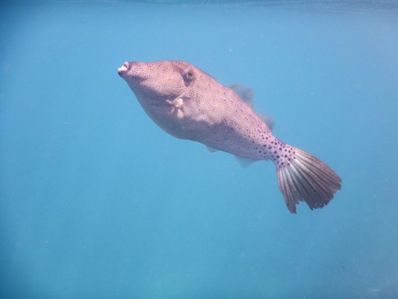 pufferfish-duiken
