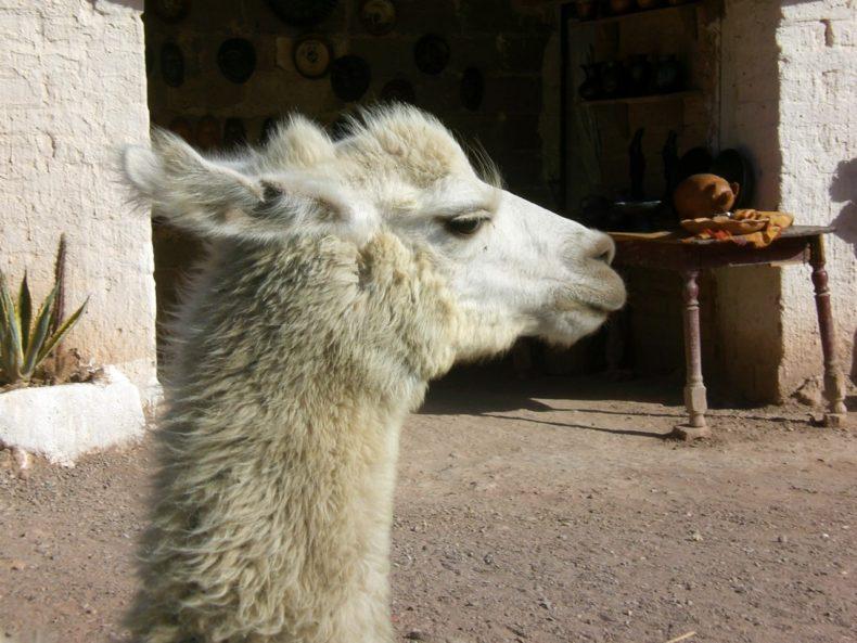 elpaca-lama-noordargentinie