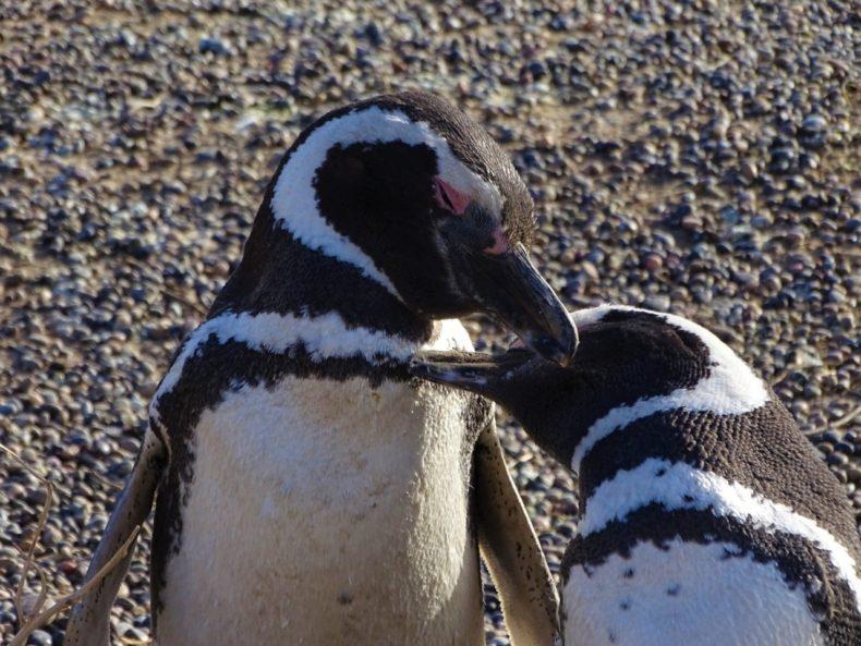 pinguins-puertomadryn
