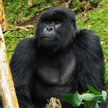 Ontmoet de berggorilla's van Rwanda