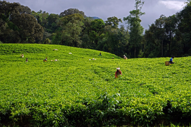 rwanda theeplantage