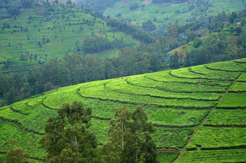 theeplantage rwanda