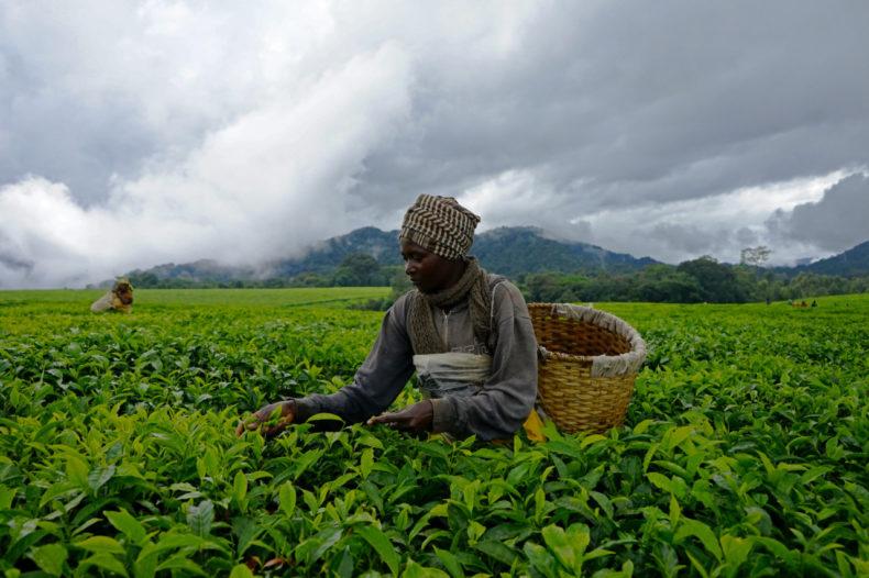 theeplukker rwanda